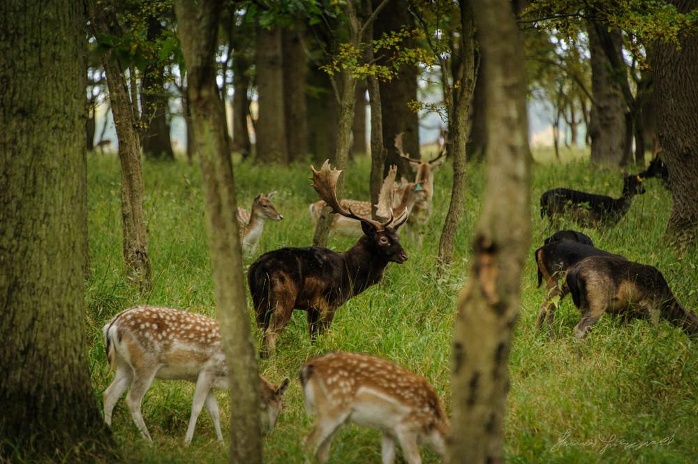 Pheonix-Park-Deer-31.jpg