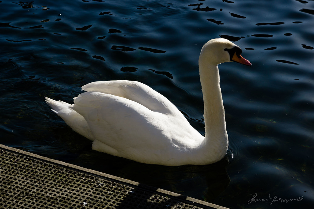 Swan with VSCO profile applied
