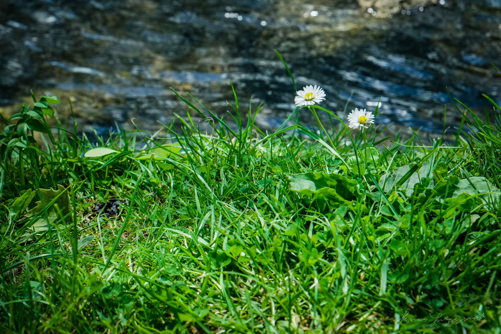 Daisies by the edge of the water