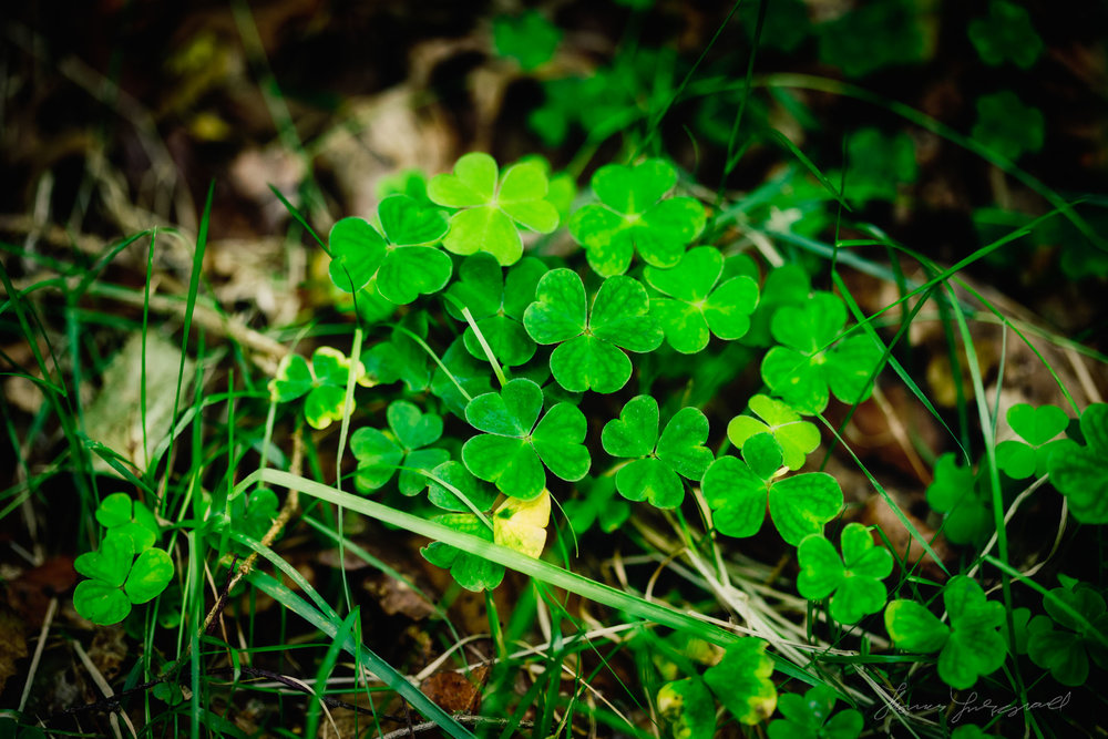 Real Shamrocks Closeup