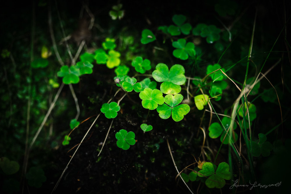 Shamrocks in a pool of Light