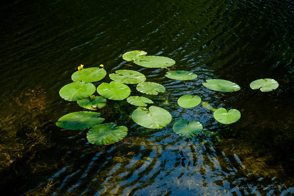 Lilly Pads in the Grand Canal