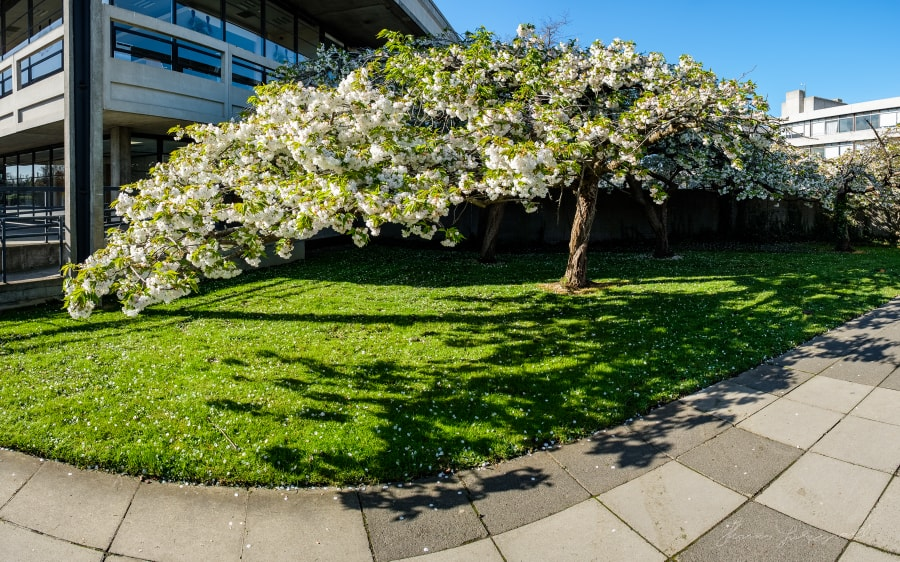 Cherry Tree Panorama