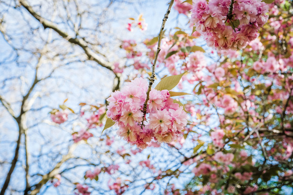 Shooting Cherry Blossom (With the Fuji X-Pro 2)