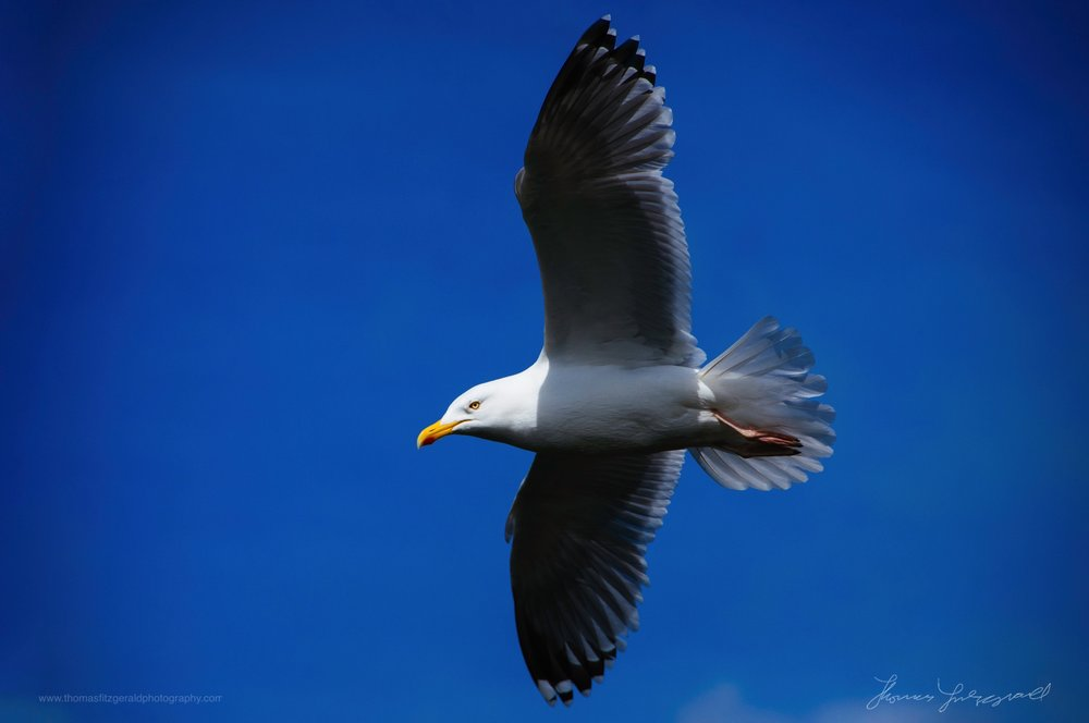 Seagull-against-blue-sky.jpg