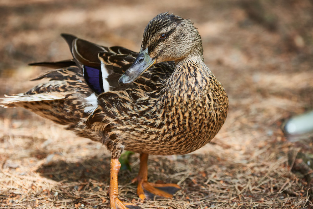 A close up image of ducks just out of the water with doplets still on their feathers