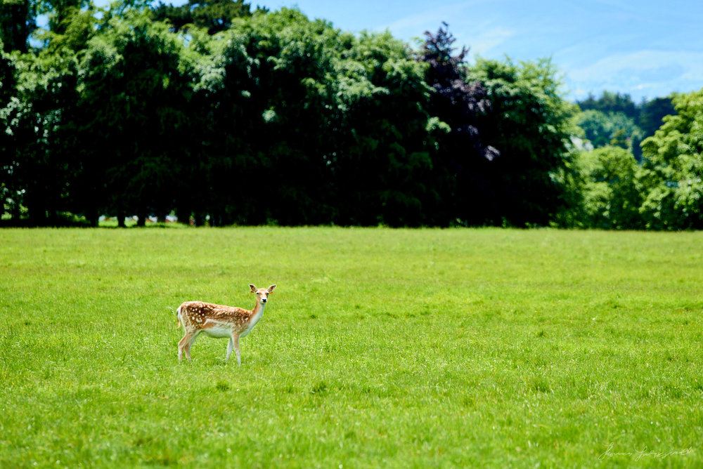 A lone Deer in Pheonix Park in the centre of Dublin, with trees and mountains in the background