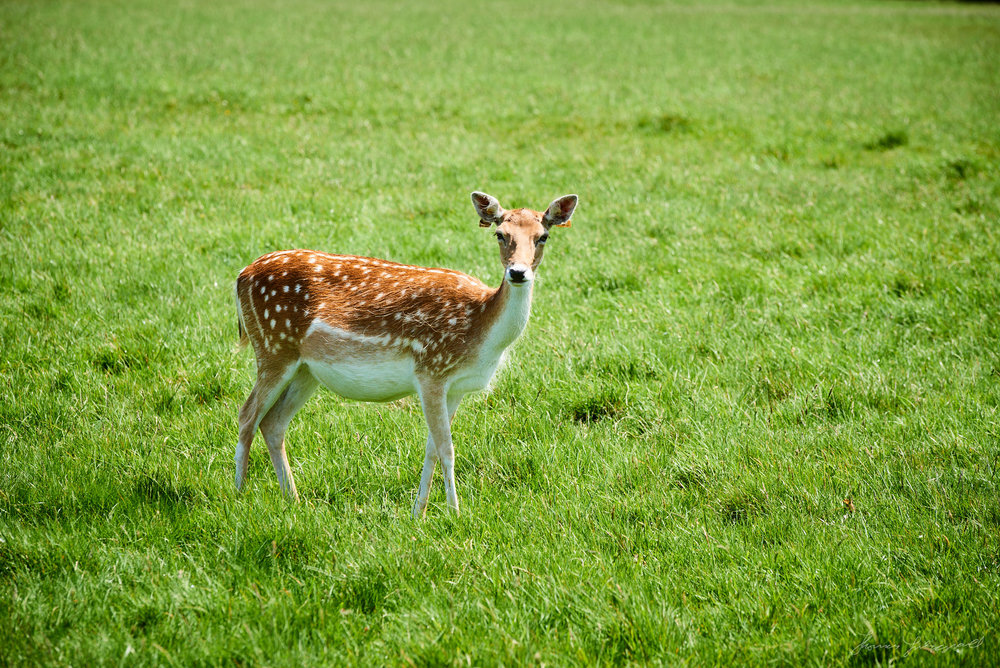 Deer in Pheonix Park in the centre of Dublin