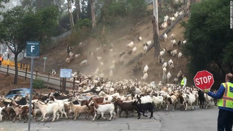 premed_goats