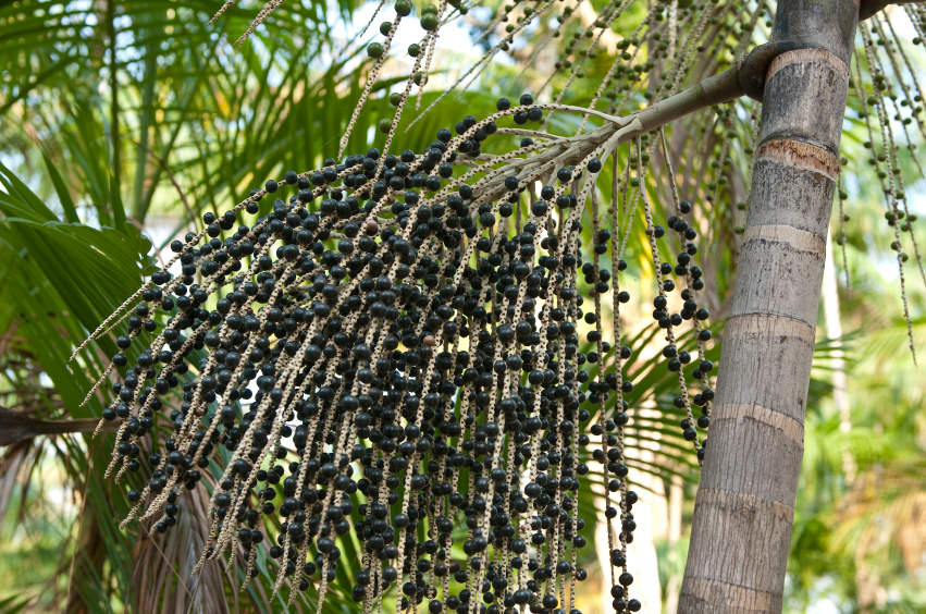 Superfood Spotlight....Acai Berry! — YOUR FOOD STORY