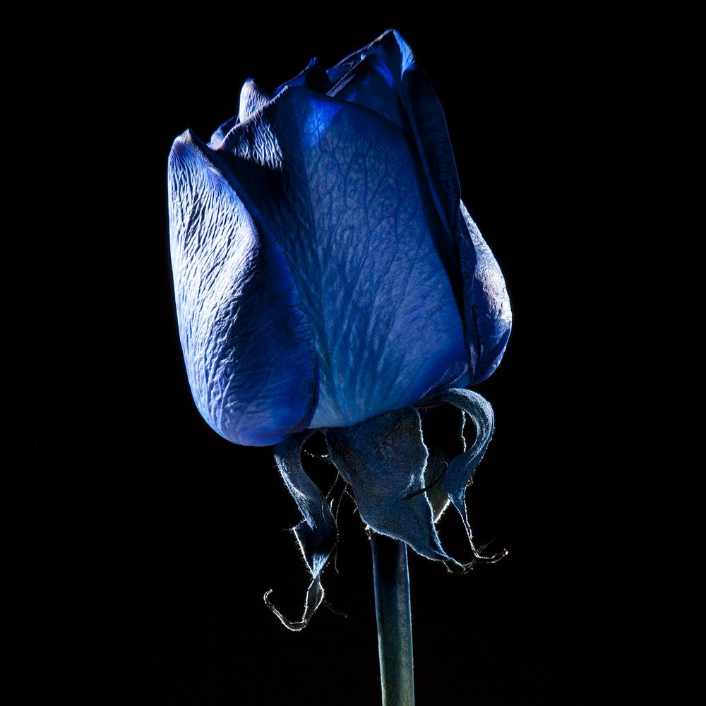 BlueRose 10842.jpg
