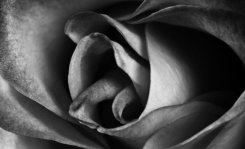 Rose No.1_BW.jpg