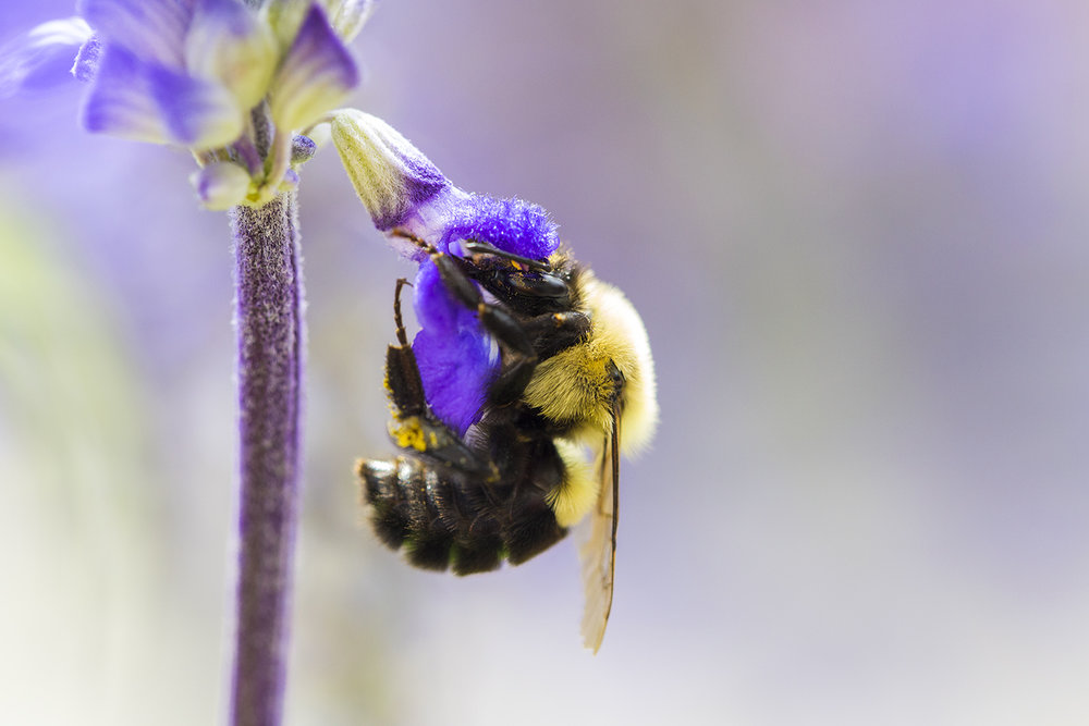 BumbleBee_Lavender.jpg