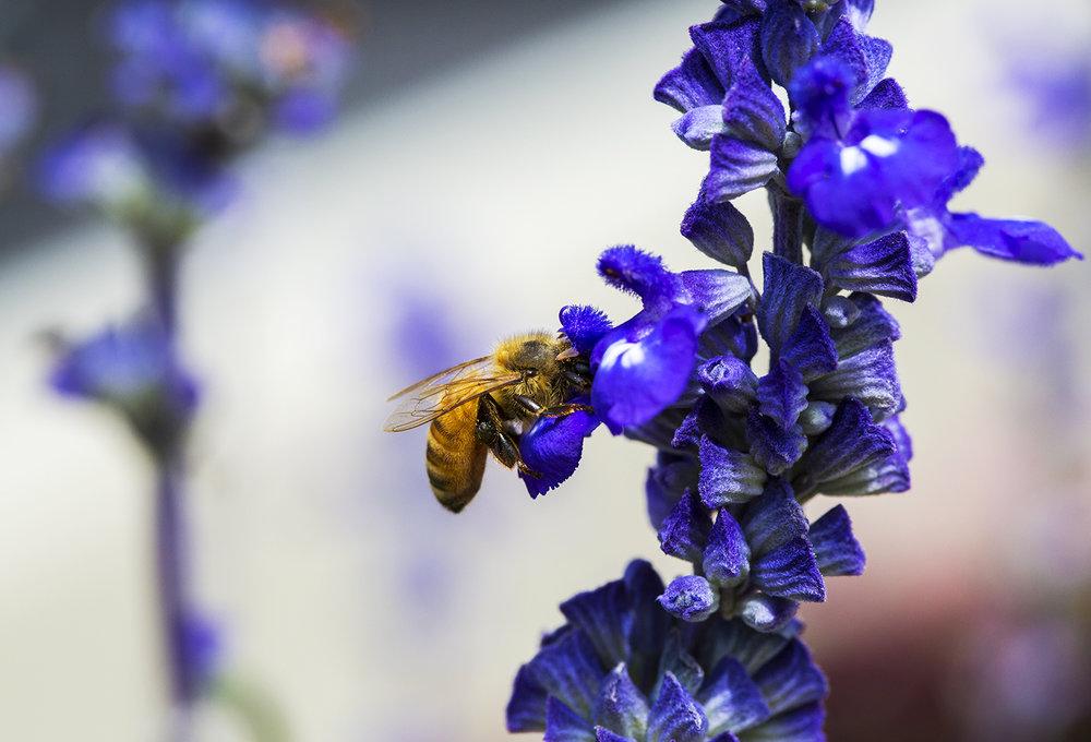 HoneyBee_Lavender.jpg