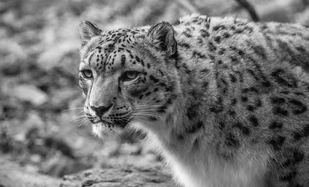 SnowLeopard-Edit.jpg