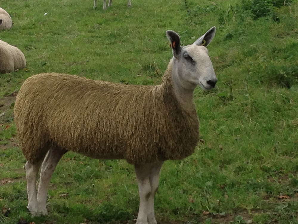 The first Bluefaced Leicester to arrive on the farm, early summer 2014.   This lovely lady is in her 'show clothes'.