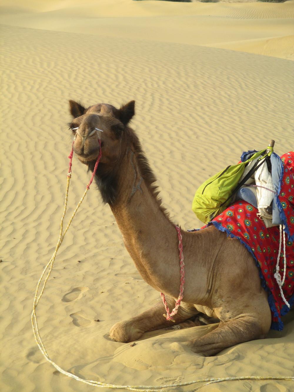 camel sitting.JPG