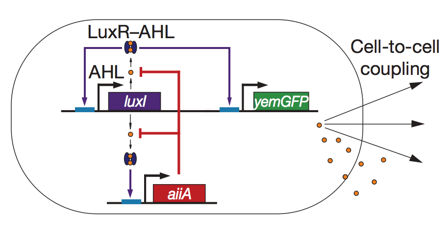 Synchronized genetic clock circuit. The luxI promoter drives production of the luxI, aiiA and yemGFP genes in three identical transcriptional modules. LuxI enzymatically produces a small molecule AHL, which can diffuse outside of the cell membrane and into neighbouring cells, activating the luxI promoter. AiiA negatively regulates the circuit by acting as an effective protease for AHL