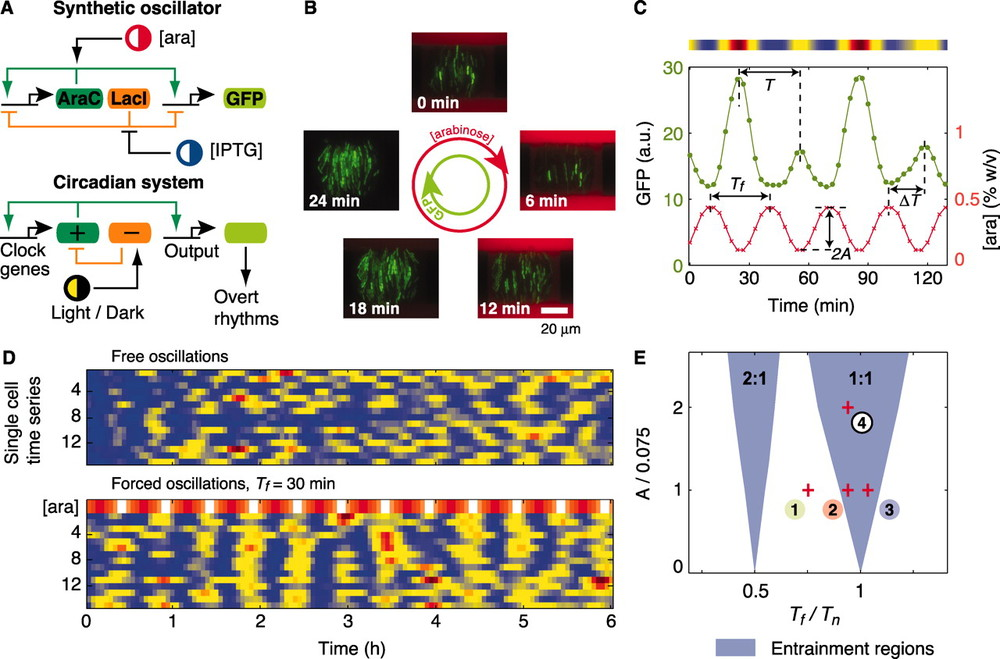 Entrainment of genetic oscillators.  (A) Architectures of eukaryotic circadian clocks and bacterial synthetic oscillators contain positive- and negative-feedback loops that are sensitive to external stimuli. (B) Fluorescence images from a time-lapse experiment show coherent GFP oscillations (green) in a colony of single-cell oscillators subject to a 30-min cycle of arabinose (red) (movie S1). (C) Fluorescence time series of a single-cell oscillator (green). The concentration of arabinose (red) changes sinusoidally according to [ara](t) = 0.3 + Asin(2πt/Tf) [percent weight/volume (% w/v)], with A = 0.15% and Tf = 30 min. The intensity plot above the graph corresponds to the cell trace. a.u., arbitrary units. (D) Fluorescence intensity plots of free-running and forced oscillators. Each row in the two panels represents a single-cell trace. The top row of the forced set represents the modulated concentration of arabinose (A = 0.15%). (E) Entrainment regions indicate which forcing periods (Tf) and amplitudes (A) result in locking of the oscillator according to a deterministic model (SOM text). Entrainment of order 2:1 means that two oscillation peaks are observed for one peak of arabinose. Tn is the natural period of the oscillator. Images and cell traces shown in (B), (C) and [(D), forced oscillations] correspond to point 4. Points 1 to 3 signal some parameter values explored experimentally.