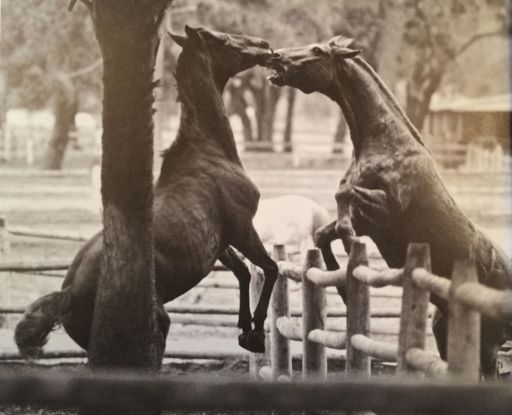 A photograph of Marsh Tacky horses from Greer's book  Hilton Head: A Certain Place