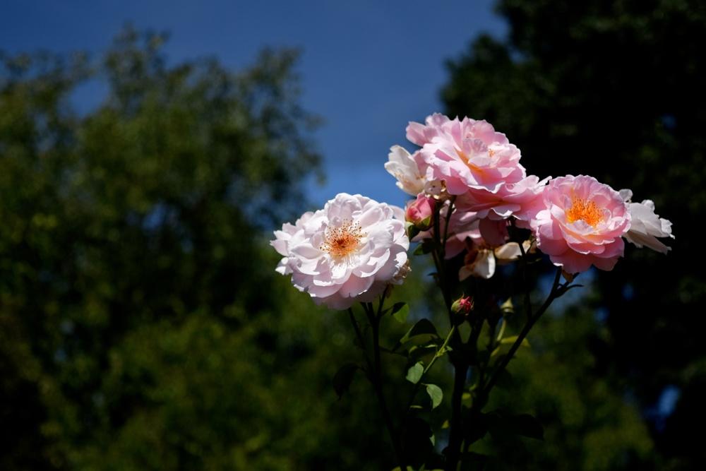 roses_28571703070_o.jpg