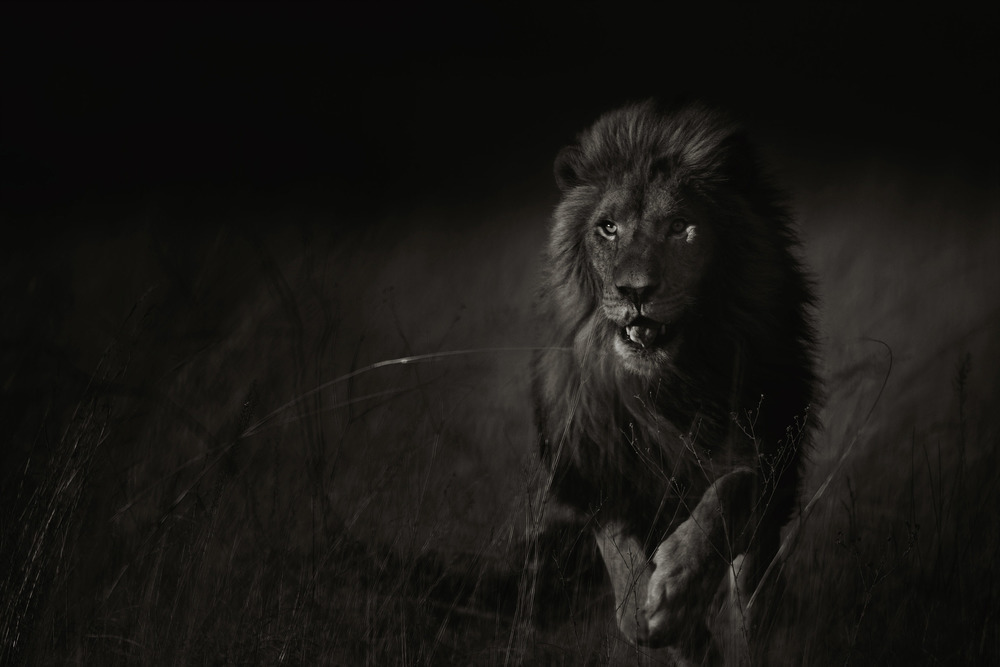 "Untitled (Lion)  Gary Lankford GLK122 Archival Pigment Print on ENDURA Premier Metallic Paper 36"" x 48"""