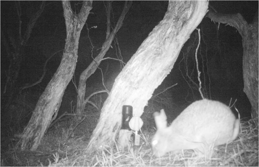 Rabbit and good nature trap.jpg