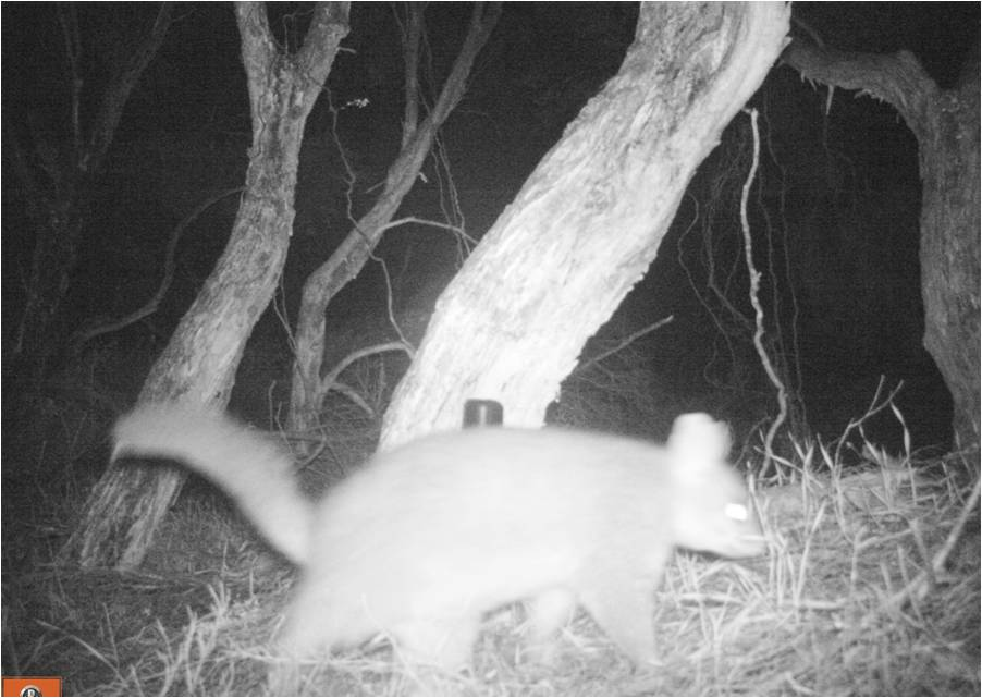 possum walks past.jpg