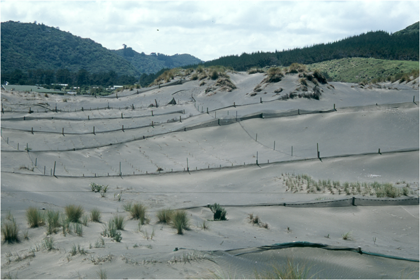 Sand fences building dunes