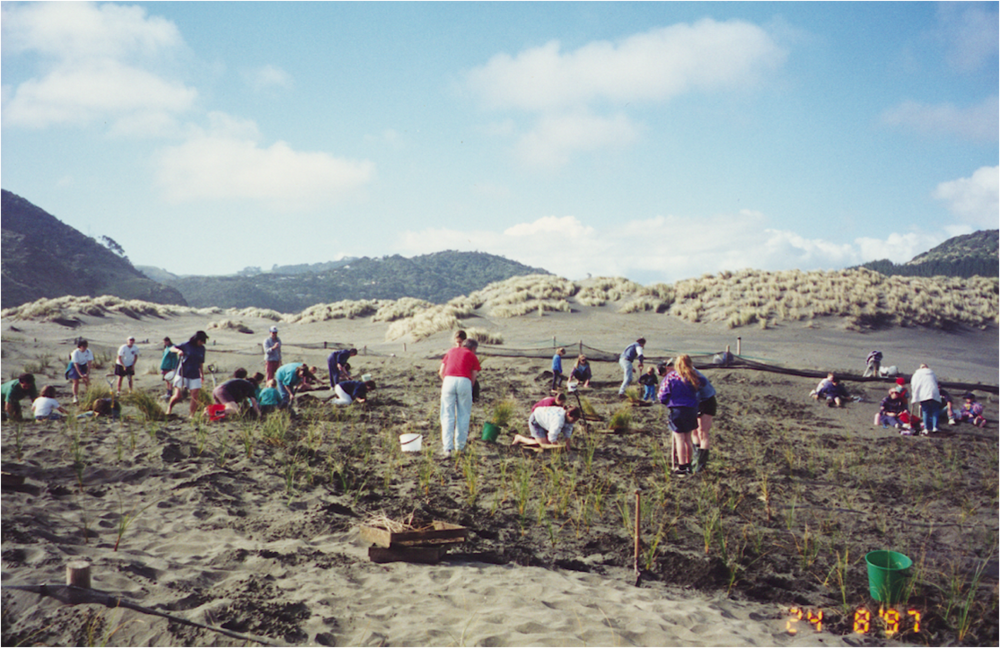 Planting pingao on the fore dune.