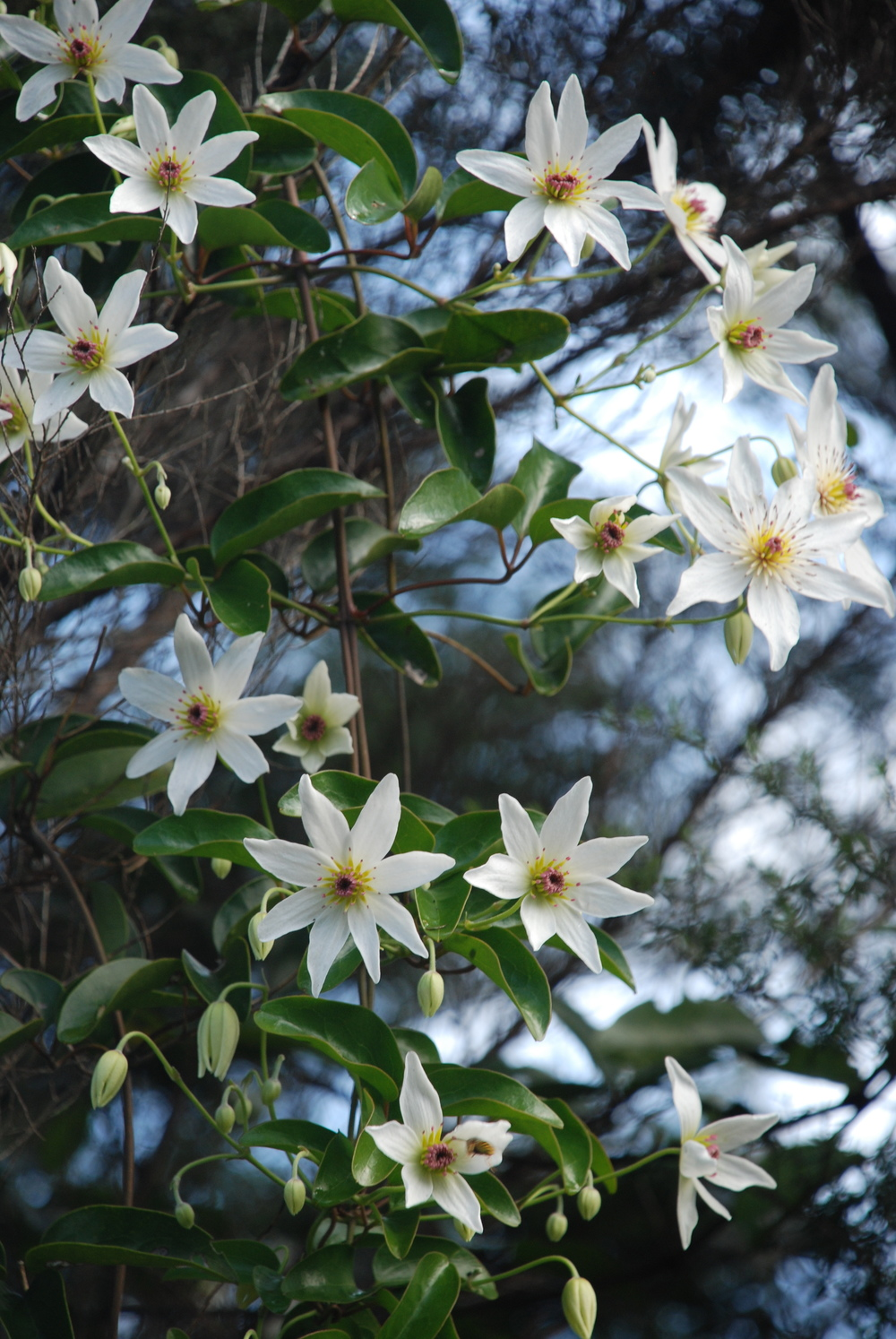 Common Name: white clematis, puawananga. Species:Clematis paniculata