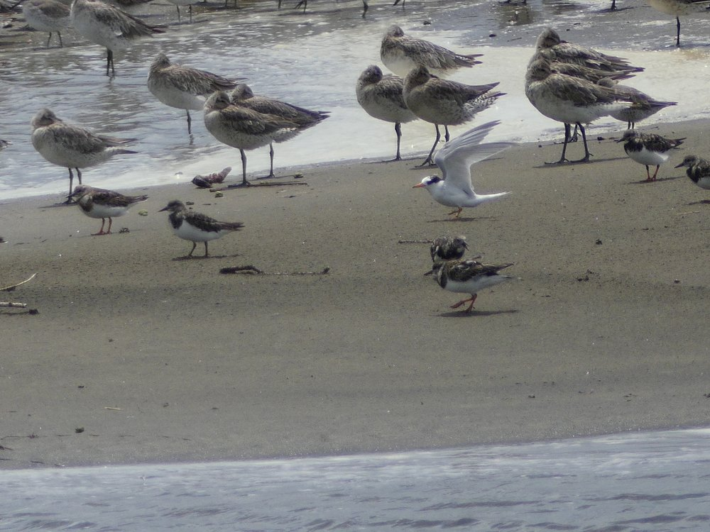 Banded Fairy Tern tustles with turnstones on 18 November 2016.  Photo Jane Ferguson