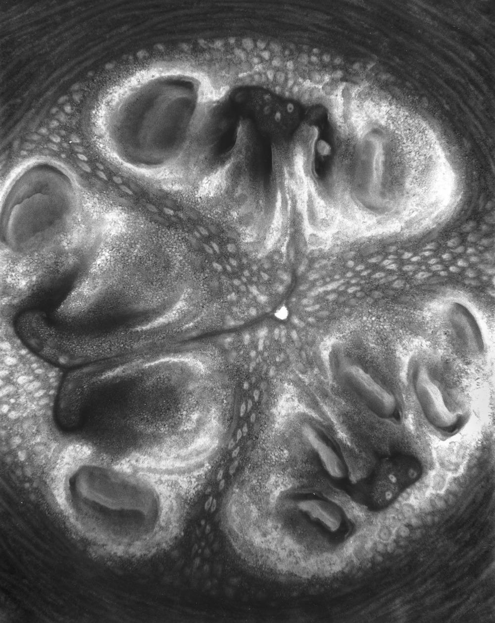 Cucurbita Pepo Cylindrica I, 2016