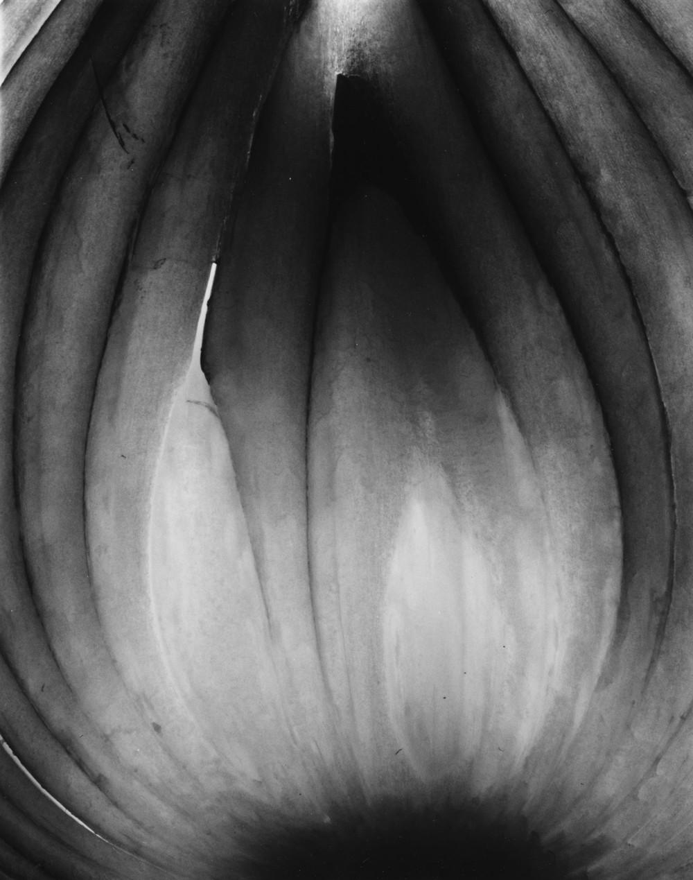 Allium Cepa I, 2015