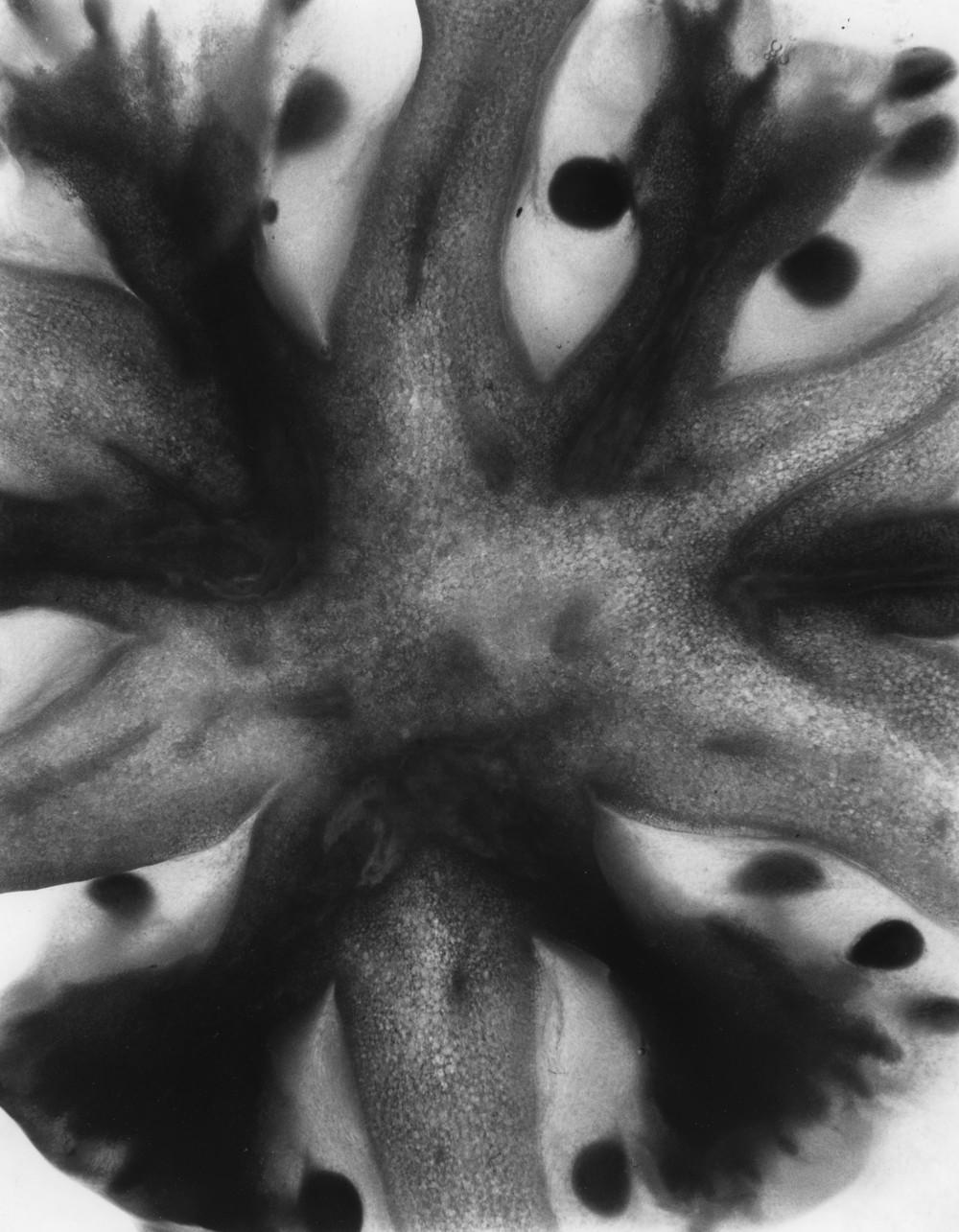 Solanum Lycopersicum II, 2015