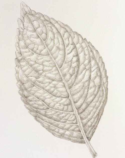 Hydrangea leaf study, pencil
