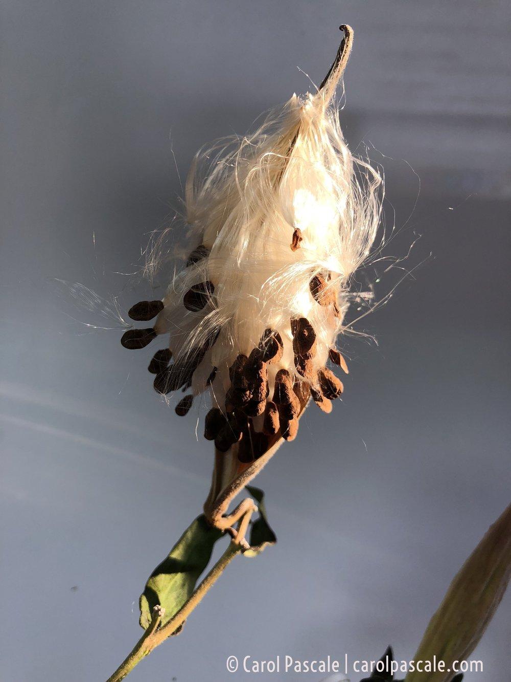 butterflyweed2.jpg