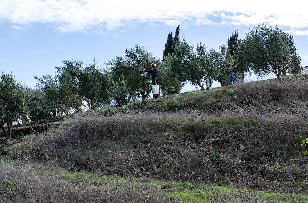 Hills of Plenty, An Olive Harvest