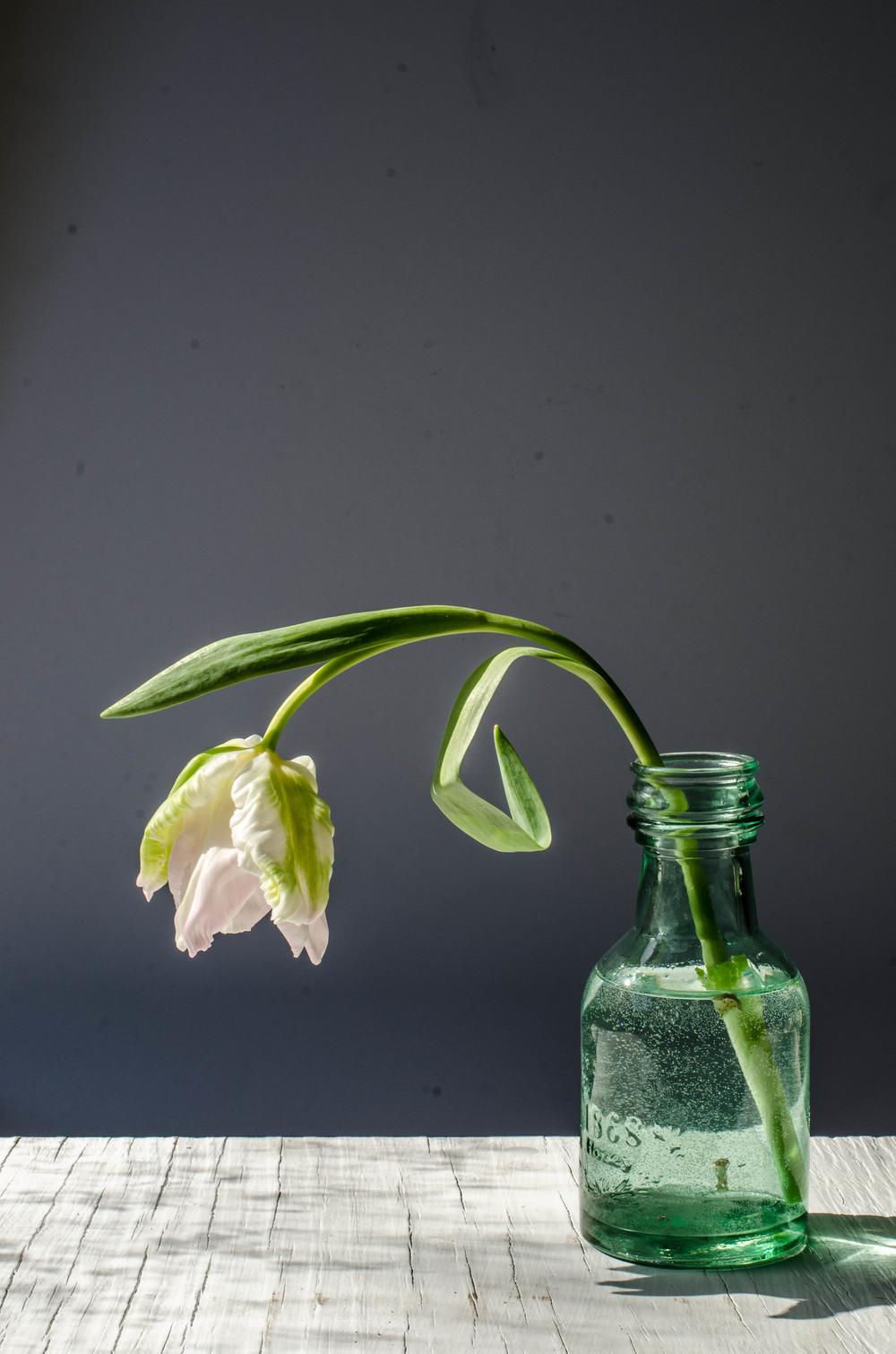 'Libretto' Parrot Tulip