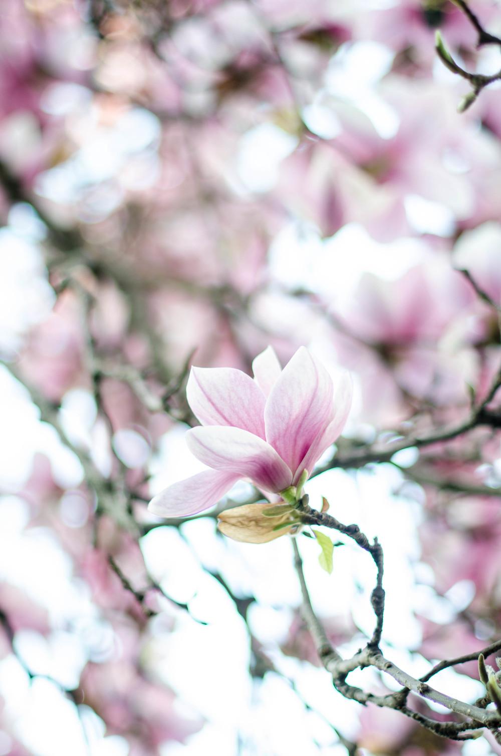 Magnificent Magnolias