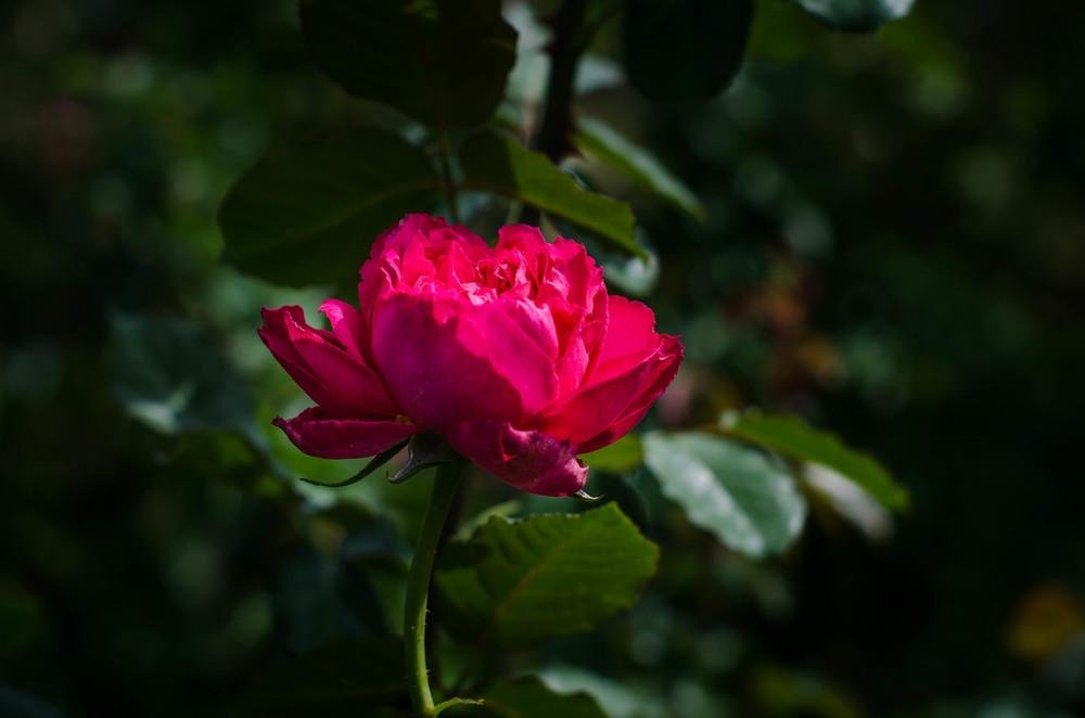 ROSE & IVY Jouranl A Rose Garden