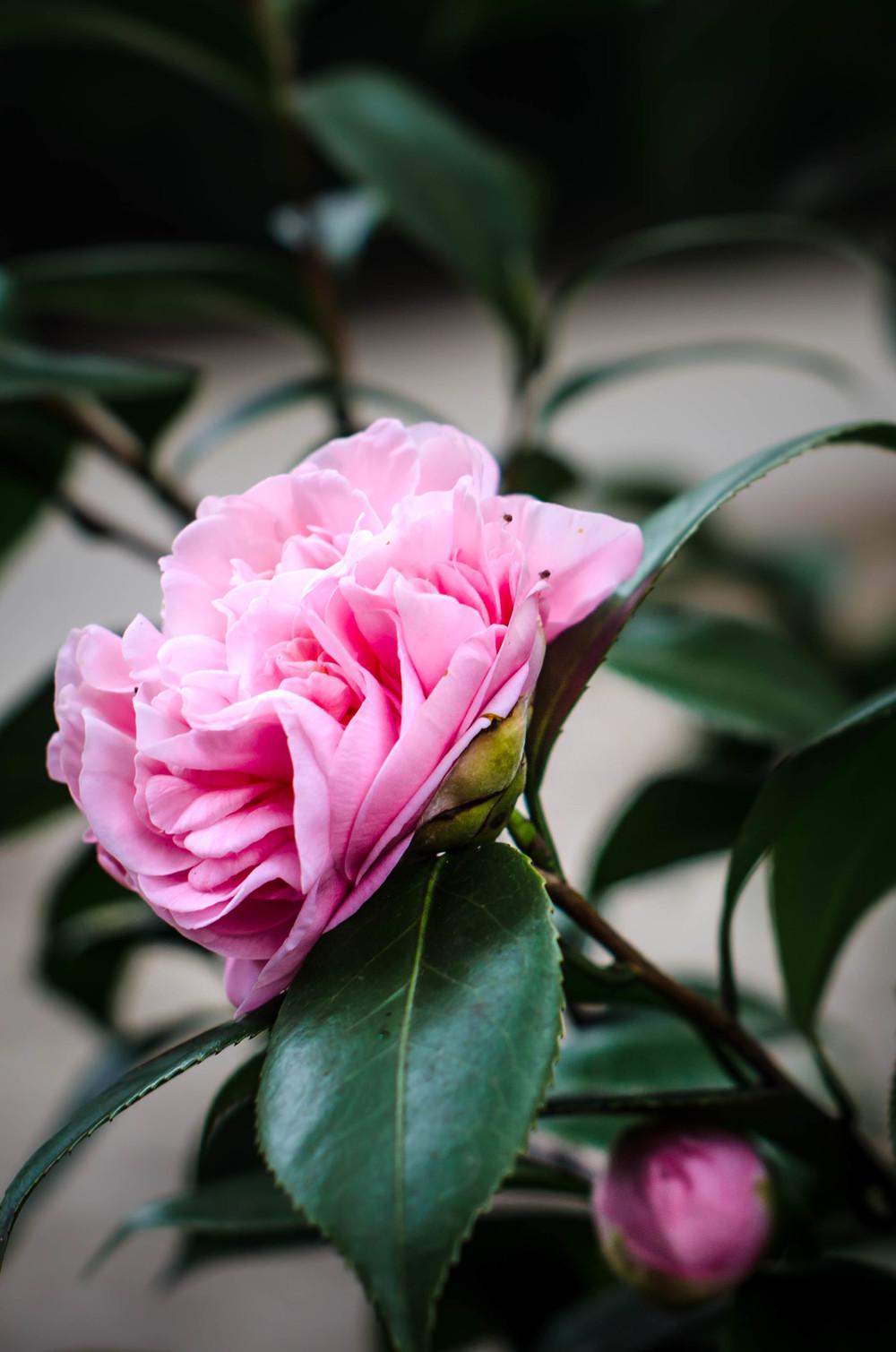 ROSE & IVY Journal Petal by Petal Camellia