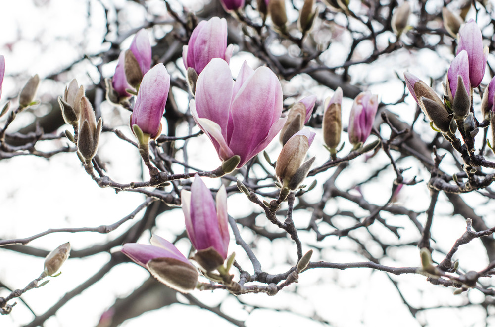 ROSE & IVY Journal Spring Awakening Magnolias Part II