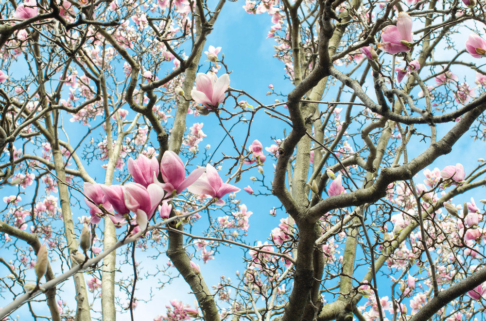 ROSE & IVY Journal Magnolias A Portrait