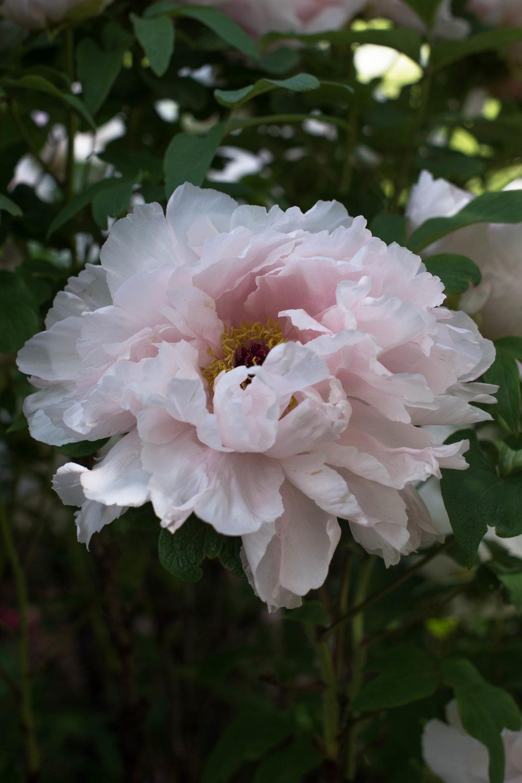 ROSE & IVY Journal Tree Peonies