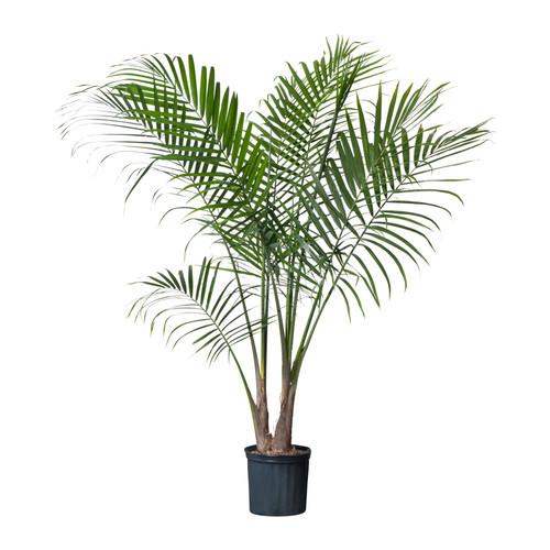 ravenea-potted-plant__0121015_PE277828_S4.JPG