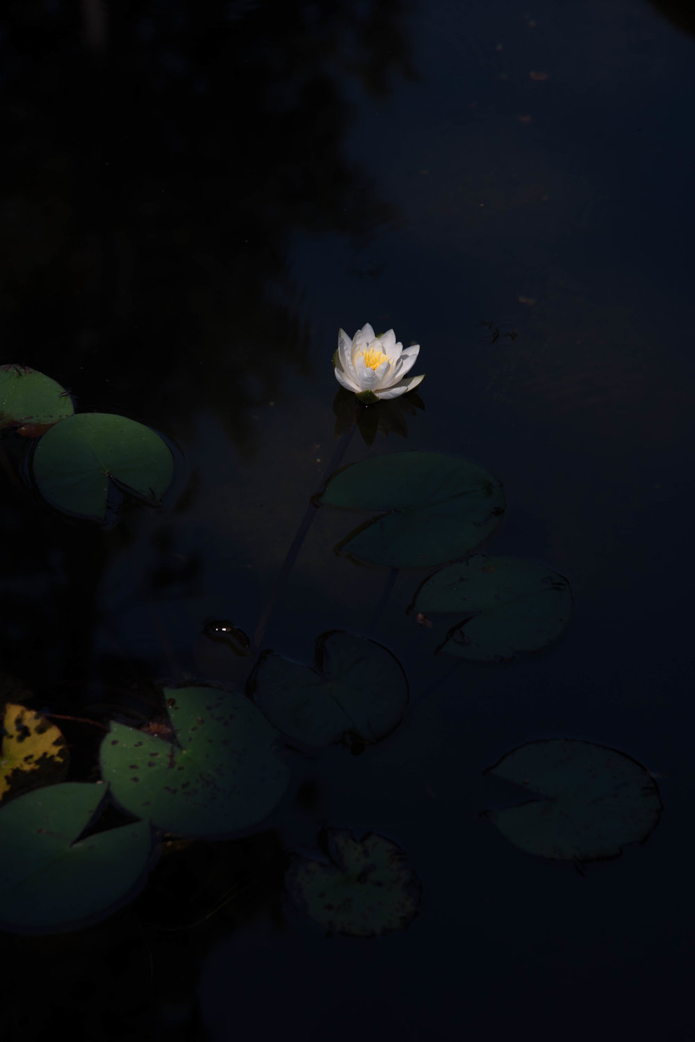 ROSE & IVY Journal Water Lilies | A Photo Study