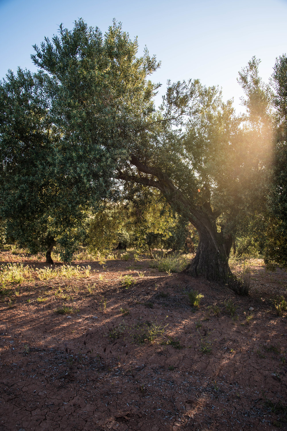Adopt An Olive Tree in Their Name - Courtesy of Especially Puglia