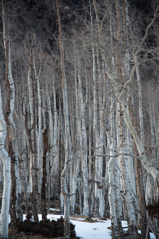 White Aspen trees grown in abundance on the Aldasoro Ranch