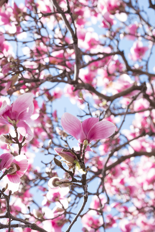 ROSE & IVY Journal Magnolias A Study